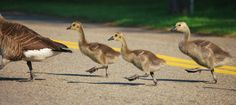 Gosling Abbey Road