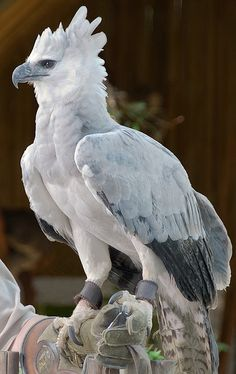 Harpy Eagle -- [Color him red and yellow and you're looking at Fawkes' head, the Phoenix from the Harry Potter films. http://www.harrypotterforseekers.com/symbols/creatures.php]