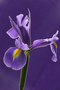 Siberian Iris - A great choice for NC as it multiplies easily, spreads readily and is gorgeous in bloom in the spring.
