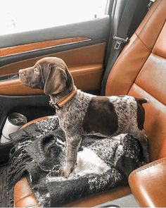 Gsp Puppies, Pointer Puppies, Pointer Dog, Cute Baby Animals, Animals And Pets, I Love Dogs, Cute Dogs, German Shorthaired Pointer, Baby Dogs