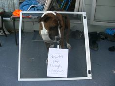 """""""I shouldn't jump through windows.""""  Boof decided to exit the house via the window but failed to negotiate the screen"""