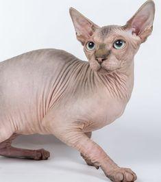 Top 10 des plus beaux chats sphynx ! Chat Sphynx, Hairless Kitten, Siamese Cats, Cats And Kittens, Cat Whisperer, F2 Savannah Cat, Devon Rex, Cat Supplies, Litter Box