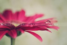 Gerbera with a drop. By Alicia Llop.  Stockiste.com  Creative stock + Exclusivity on the GO!   Download Link: https://www.stockiste.com/display/gerbera-with-a-drop/13488  #Stockiste, #StockisteCreativeStock, #Stockphoto, #Stockimage, #Photography, #Photographer, #AliciaLlop, #ContentMarketing, #Marketing, #Storytelling, #Creative, #Communication, #Gerbera, #Drop, #Flourish, #Blooming,    Gerbera with a drop © Alicia Llop