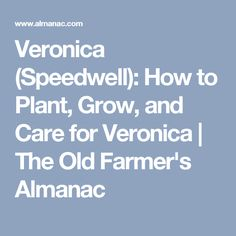 Veronica (Speedwell): How to Plant, Grow, and Care for Veronica   The Old Farmer's Almanac