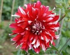 Dahlia Justinus Kerner (#2315) Classification: Dekorative Dahlien Color: rot, weiße Spitzen Height: circa 200 cm Blossom size: 15 cm - 20 cm Grower, Year Berger, Vincenz (Germany), 1937