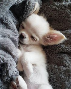 # t chihuahua puppies look adorable and funny all the time us for your daily dose of chihuahua love! Stunning hand crafted chihuahua accessories and chihuahua jewellery available at Paws Passion Shop! Cute Puppies, Cute Dogs, Dogs And Puppies, Doggies, Chihuahua Love, Teacup Chihuahua Puppies, Long Hair Chihuahua, Teacup Pomeranian, Pets