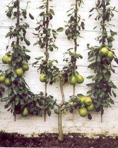 laagstam fruitbomen - Google zoeken