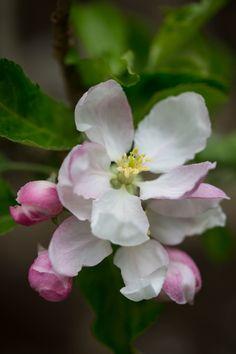 Apple Blossom by Sally Gibson  Via Flickr