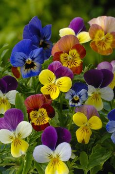 Viola Chicky Chicks - Flowers T to Z - Alpha Search for Flowers - Flowers - Kings Seeds (NZ) Ltd