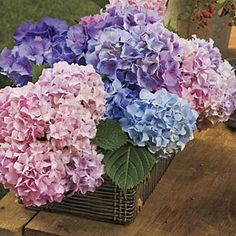 Gardening 101: French Hydrangeas | Cut Flowers | SouthernLiving.com