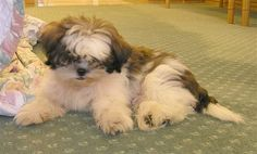 Pom Pomme, the Shih-Tzu puppy at 3 months old