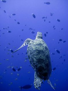 Turtle in the deep deep blue sea Beautiful Creatures, Animals Beautiful, Baby Animals, Cute Animals, Turtle Love, Turtle Baby, Deep Blue Sea, Water Life, All Nature