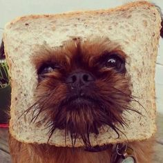 Digby can be my dog any day! Baby Animals, Funny Animals, Cute Animals, Cute Animal Pictures, Dog Pictures, Animal Pics, Funny Pictures, Dog Bread, Bread Head