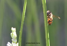 A honey bee warming herself on a lavender stem. (Photo by Kathy Keatley Garvey)