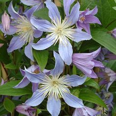 clematisblue river | Vines and Shrubs > Clematis > BLUE RIVER How to Plant and prune different species of clematis