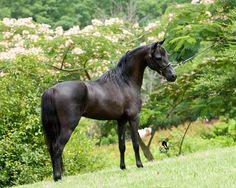 The Stallions of 3 Eagle Farm 3 Eagle's Bright Idol ASPC 2009 Black Bay Stallion