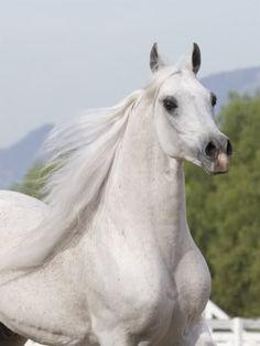 Arabian Horse - Egyptian
