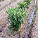 Permacultura: el mulching o acolchamiento ecoagricultor.com