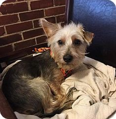 Pictures of Bart a Yorkie, Yorkshire Terrier Mix for adoption in St Louis, MO who needs a loving home.