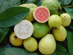 La goyave a des vertus insoupçonnées pour la santé et la beauté du corps tant par ses fruits que par ses feuilles. Les feuilles de goyave sont riches en vitamines B qui sont essentielles pour la cr…