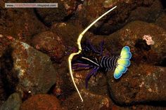 Painted Rock Lobster - Scuba Diving in Tulamben - Photo Credit @ Rizal Christian