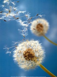 Breathe — seasonalwonderment: Dandelion Breeze
