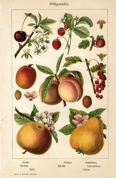 """1894 FRUITS CHERRY APPLE PEACH PEAR CURRANTS Antique Chromolithograph Print.  Original old German colour chromolithograph print/book plate(not a modern reproduction) by Dr.Beck.    The print has been printed by W.Pauli's,Berlin,Germany,1894.     Very decorative.It looks great when framed.     The overall size of this print with margins approx 9 1/4"""" x 6"""".  Sold $18.50"""