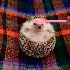watch more videos here 👇👇👇 kawaii Videos watch MyKingList com is part of Animals - Cute Animal Memes, Cute Animal Pictures, Funny Animal Videos, Cute Funny Animals, Cute Baby Animals, Animals And Pets, Cute Dogs, Cute Babies, Cute Hedgehog