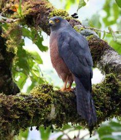 El azor moluqueño o azor de las Molucas (Accipiter henicogrammus) es una especie de ave accipitriforme de la familia Accipitridae.  Es endémica de Halmahera, Indonesia. Su hábitat natural son los bosques secos de tierras bajas y los bosques montanos húmedos.