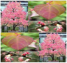 50 KATSURA C japonicum Tree Seeds Japanese BONSAI GORGEOUS ~Fragrant Fall Leaves MySeeds.Co http://www.amazon.com/dp/B006GW4XYA/ref=cm_sw_r_pi_dp_gJq4tb1BQKP9C
