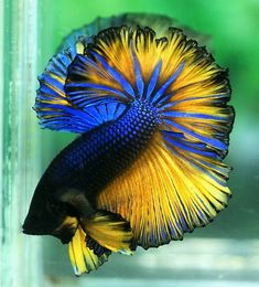 Sky Hawk Halfmoon betta