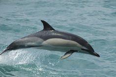 Short-beaked common dolphin. (Delphinus delphis) Range includes the coast of Connecticut.