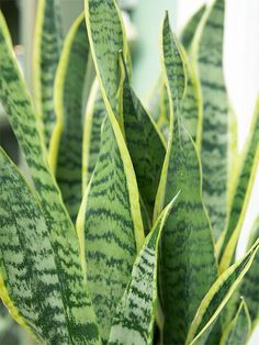 Snake Plant  Snake plant (Sansevieria trifasciata), also sometimes called mother-in-law's tongue, has leaves that look like swords. They're often attractively variegated with shades of silver, white, or cream. Its strong vertical appearance makes it perfect for using in contemporary-designed rooms. Snake plant can grow 4 feet tall and grows in low to bright light
