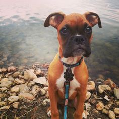 Boxer beach baby! love those ears!