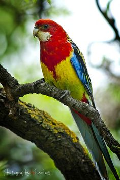 Eastern Rosella: Platycercus eximius, hanging out in Adelaides Eastern Parklands.