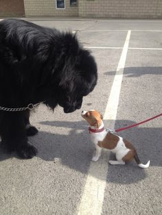 I love it when my Newfie meets a smaller dog :) - Imgur