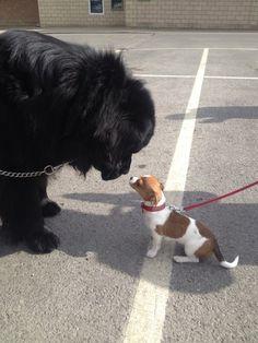 I love it when my Newfie meets a smaller dog :) - Imgur