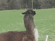 This is why I love llamas and alpacas