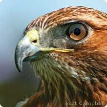 Northern Red-tailed Hawk