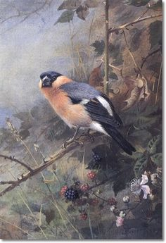 Archibald Thorburn - A Bullfinch 1930 Painting