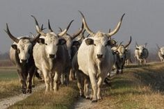 just trekking along - Hungarian Grey cattle ~ Fertő-Hanság National Park, Győr-Moson-Sopron county, Hungary Dairy Cow Breeds, Hungarian Dog, Les Balkans, Europe Centrale, Scottish Highland Cow, City People, Friesian, World Heritage Sites, Cattle