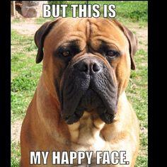 Lol #lol #bully #bullmastiff #happy #happyface #but #it #is #haha #funny #cute #adorable #follow
