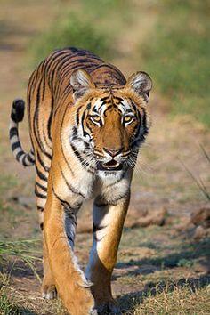 l tigre (Panthera tigris) es una de las cuatro3 especies de la subfamilia de los panterinos (familia Felidae) pertenecientes al género Panthera. Se encuentra solamente en el continente asiático; es un predador carnívoro y es la especie de félido más grande del mundo junto con el león pudiendo alcanzar ambos un tamaño comparable al de los felinos fósiles de mayor tamaño.  Existen seis subespecies de tigre, de las cuales la de Bengala es la más numerosa; sus ejemplares constituyen cerca del 80…
