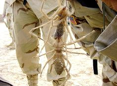 Giant Camel Spiders: The deserts of the Middle East The 16 Largest Insects In The World