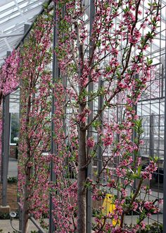 Strange Facts: Espalier: Tree Art