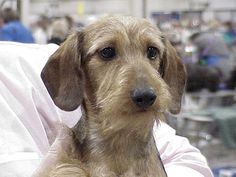 Miniature wire haired Dachshund Puppies | Irish Dogs on the 'Net ...