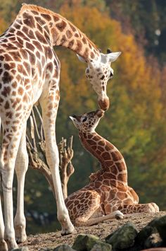 Beautiful Giraffe mommy with her darling dumpling! Cute Baby Animals, Animals And Pets, Funny Animals, Wild Animals, Giraffe Pictures, Funny Animal Pictures, Cute Giraffe, Giraffe Family, Baby Giraffes