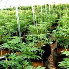 À l'ONU, le Canada annonce que le cannabis sera légalisé en 2017