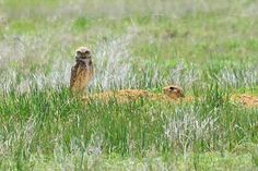 A burrowing owl and a prairie dog on the Pawnee National Grasslands in Weld County, Colorado. Arapahoe Indians, Burrowing Owl, State Birds, Blue Heron, Bird Species, Colorado, Dog, Diy Dog, Aspen Colorado