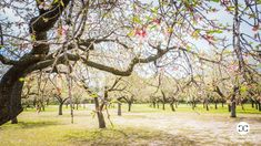 Digital Product Thumbnail - Spring in Madrid at Quinta de los Molinos Almonds Park Spring Photography, Travel Images, Madrid, Bloom, Plants, Planters, Plant, Planting
